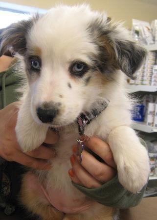 Aussie Pup